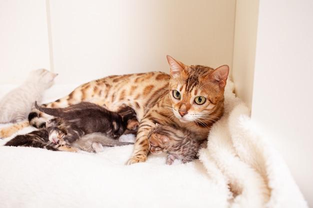 Gatto leopardo del bengala si trova su un plaid beige con piccoli gattini