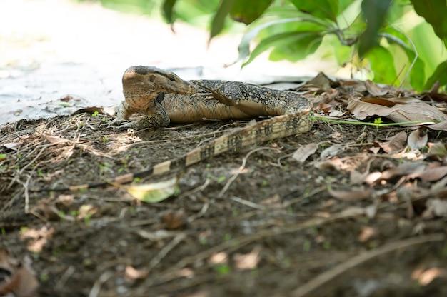 Lucertola del bengala che cammina nel fondo dell'estratto del giardino botanico