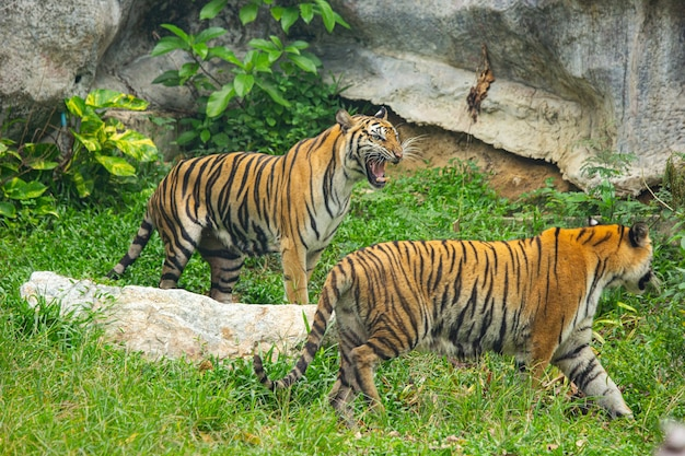 Cacciatore di tigri del bengala in attesa nella giungla.
