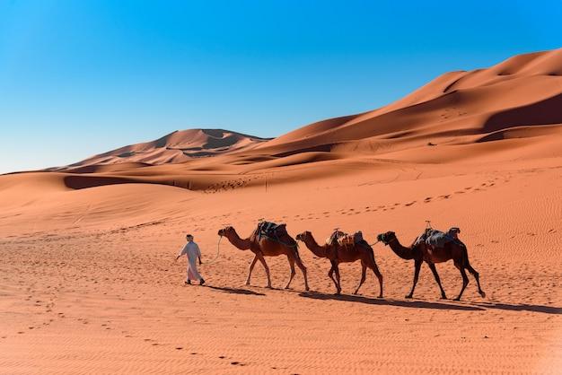 Uomo berbero che conduce la carovana di cammelli nel deserto del sahara