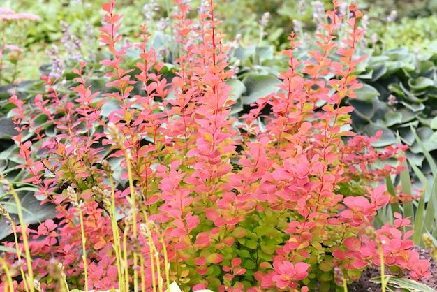 Berberis thunbergii il crespino giapponese o crespino rosso