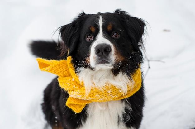 Bovaro bernese testa con la neve sul viso indossando sciarpa gialla