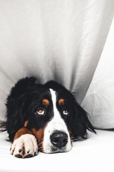 Bovaro del bernese nel letto bianco. sdraiato su un letto pulito.