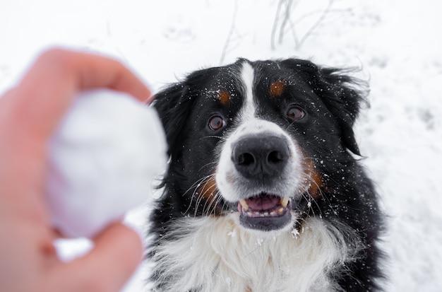 Bovaro del bernese con la neve sulla sua testa. happy dog walk in inverno nevoso