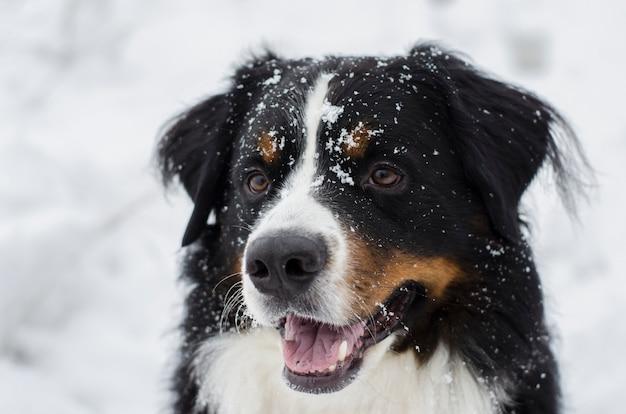 Bovaro del bernese con la neve sulla sua testa