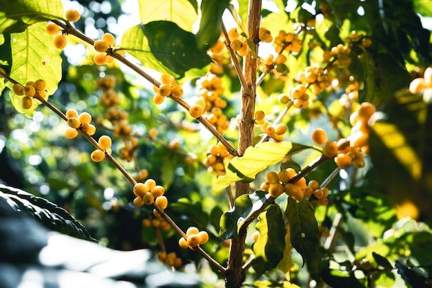 Bacche di caffè in grani maturi presso l'albero in giardino