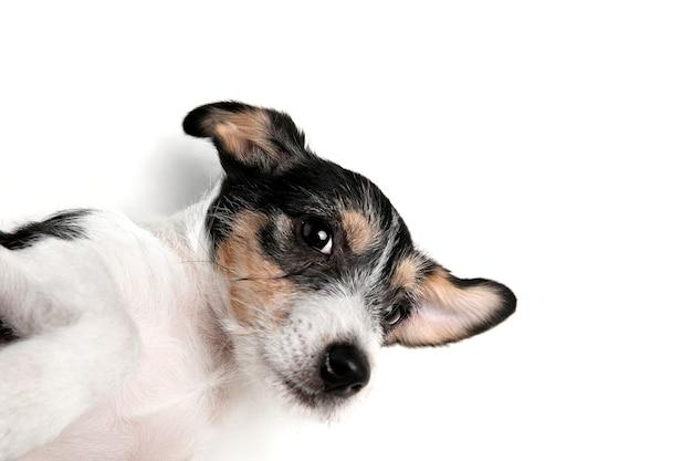 Migliore amico. il piccolo cane di jack russell terrier sta posando. simpatico cagnolino giocoso o animale domestico che gioca su sfondo bianco per studio. concetto di movimento, azione, movimento, amore per gli animali domestici. sembra felice, felice, divertente.