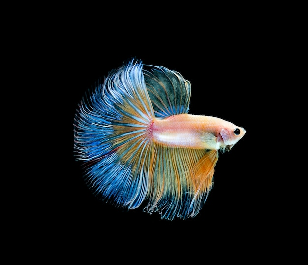Betta fish, siamese fighting, betta splendens isolated on black background