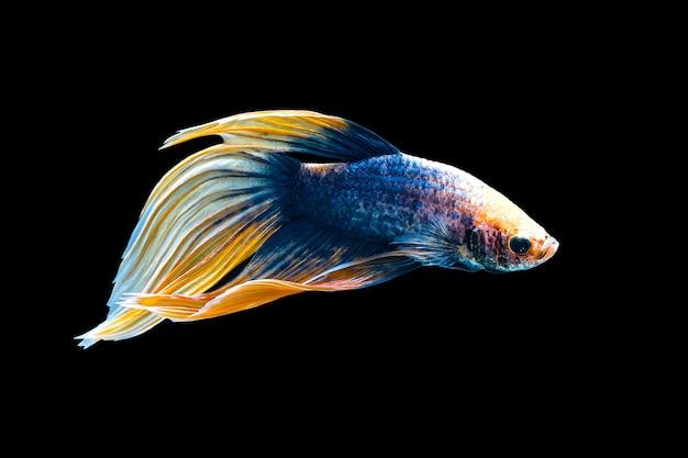 Betta pesce, pesce combattente siamese, betta splendens (halfmoon fantasia betta gialla), isolato sul nero.