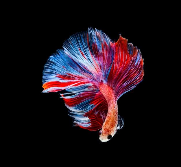 Pesce betta, pesce combattente siamese, betta splendens isolato su sfondo nero