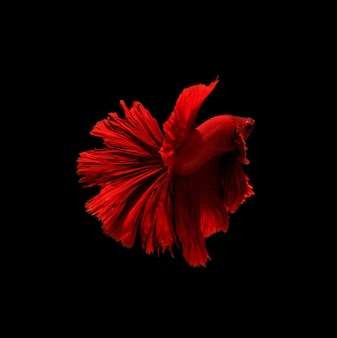Betta pesce, pesce combattente siamese, betta splendens isolato sul nero