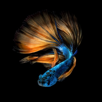 Betta pesce o pesce combattente siamese su sfondo nero