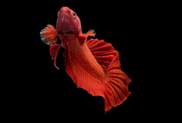 Betta pesce super rosso halfmoon pesce combattente siamnese sul nero
