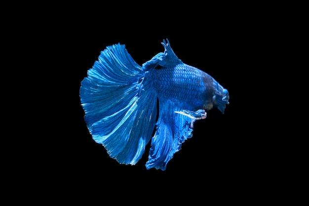 Betta pesce combattente siamese isolato su sfondo nero