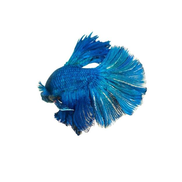 Betta pesce combattente siamese isolato su sfondo bianco