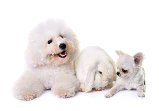 Bichon frise, chihuahua e bunny davanti a uno sfondo bianco