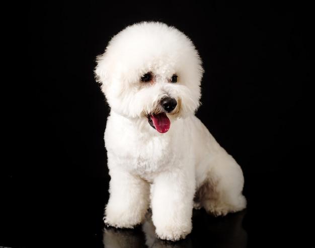 Bichon è isolato su un nero. cucciolo di bichon frise. cane bianco. bichon dopo la toelettatura. la sua lingua penzoloni.
