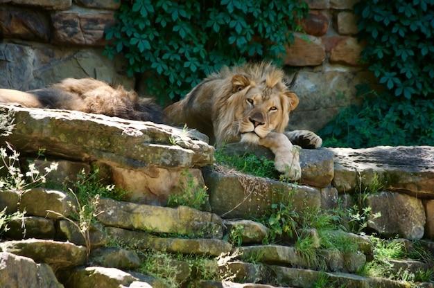 Grande leone africano che riposa all'ombra degli alberi.