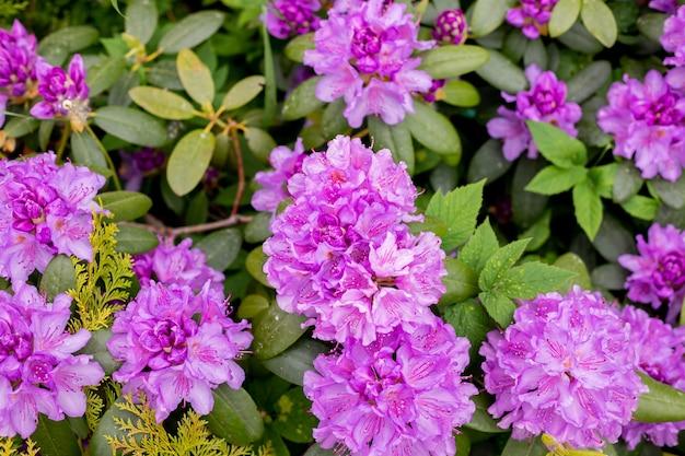 Grande azalea o rododendro in giardino. stagione di fioritura delle azalee al giardino botanico. pianta in un soleggiato parco primaverile, bellissimo sfondo floreale all'aperto