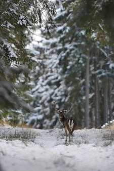 Grandi e bellissimi daini nell'habitat naturale della repubblica ceca