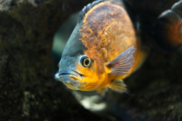 Il grande e bellissimo pesce cichlid astronostus oscar nuota in uno stagno tra le pietre aqua space