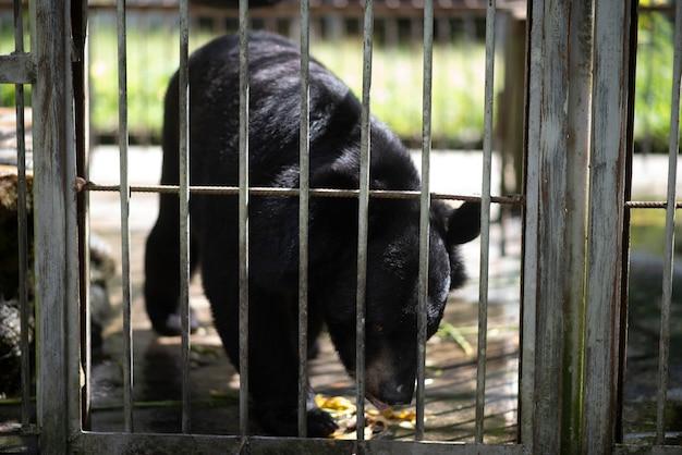 Il grande orso nero è intrappolato in una gabbia d'acciaio.