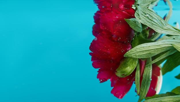 Grande fiore, peonia rossa bagnata con gocce d'acqua. sfondo di fiori
