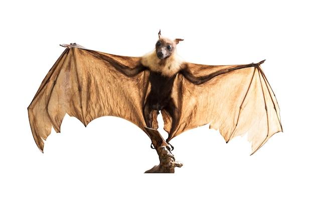 Volpe volante grande pipistrello marrone