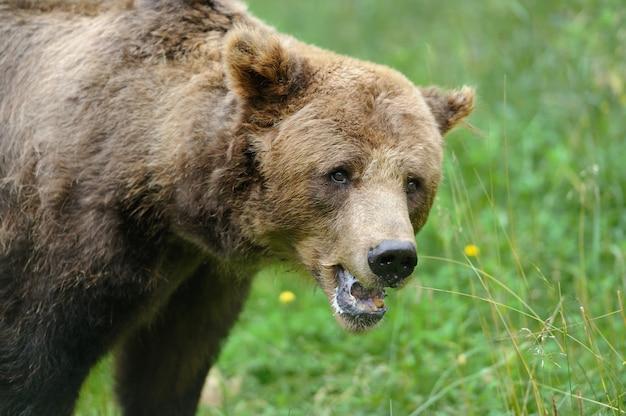 Grande orso bruno nella foresta in estate