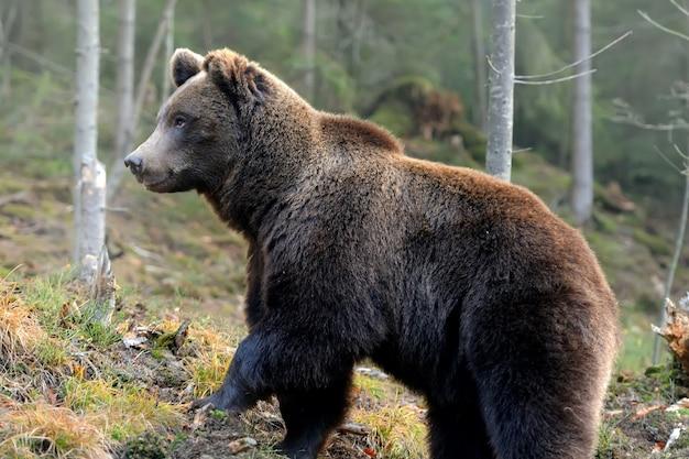 Un grande orso bruno nella foresta