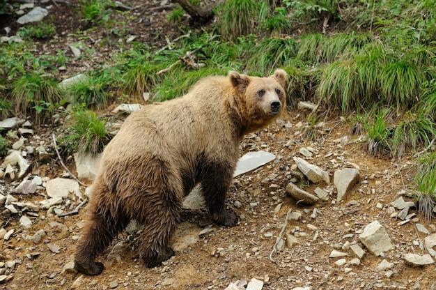 Grande orso bruno (ursus arctos) nell'ambiente