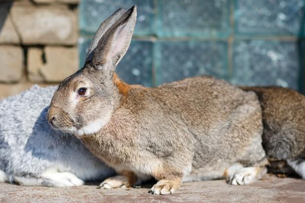 Primo piano del grande coniglietto marrone che si crogiola al sole