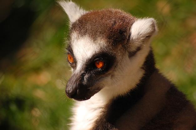 Grande lemure dalla coda ad anelli marrone