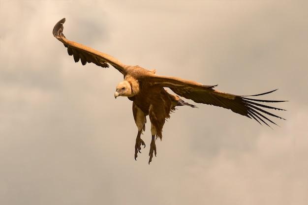 Grande avvoltoio marrone in volo