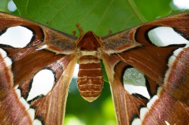 Grande farfalla atlanta falena, attaccus atlante che tiene sulle foglie