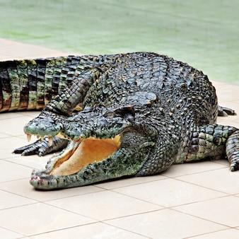 Grande coccodrillo