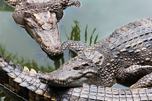 Grandi coccodrilli