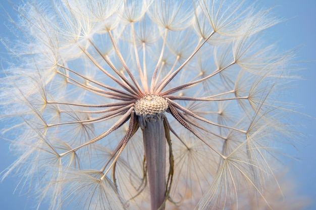 Grande seme di tarassaco sull'azzurro