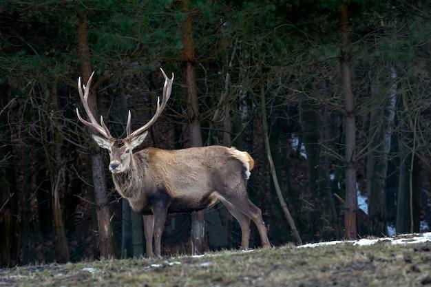 Grande cervo nella foresta