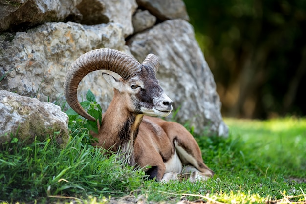 Grande muflone europeo nell'habitat naturale