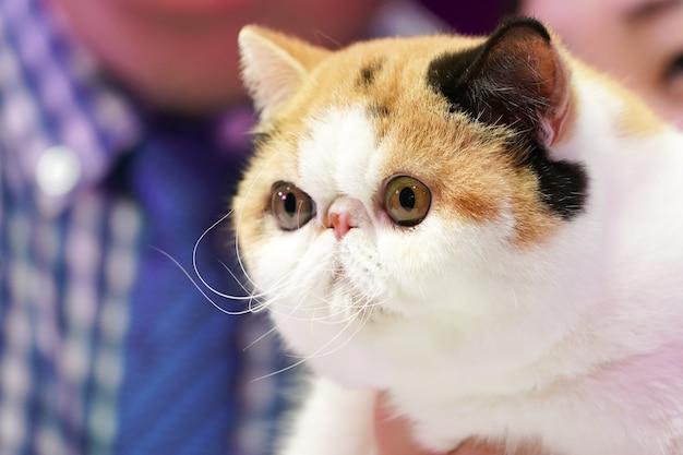 Il gatto persiano occhi grandi naso piuttosto corto con 3 colori nero bianco arancio.