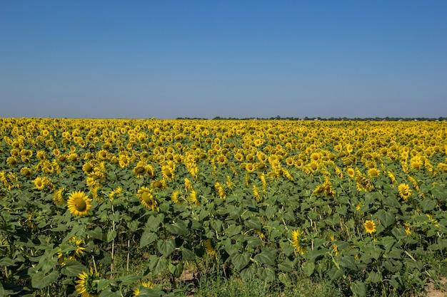 Grande campo di girasoli gialli in fiore a mezzogiorno nella soleggiata giornata estiva.
