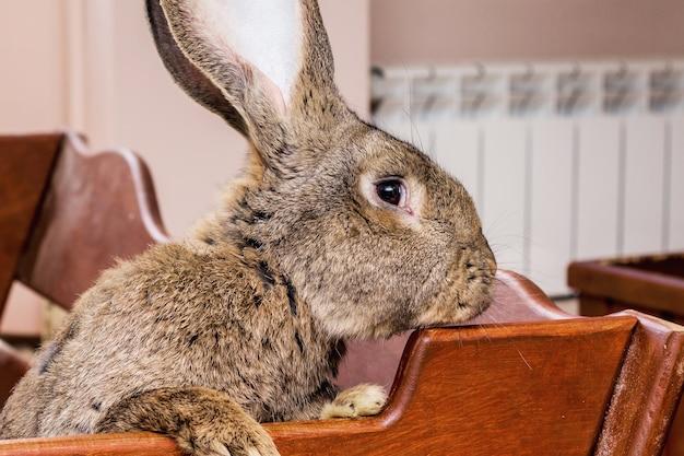 Il grande e soffice coniglio delle fiandre di razza guarda fuori dalla gabbia_