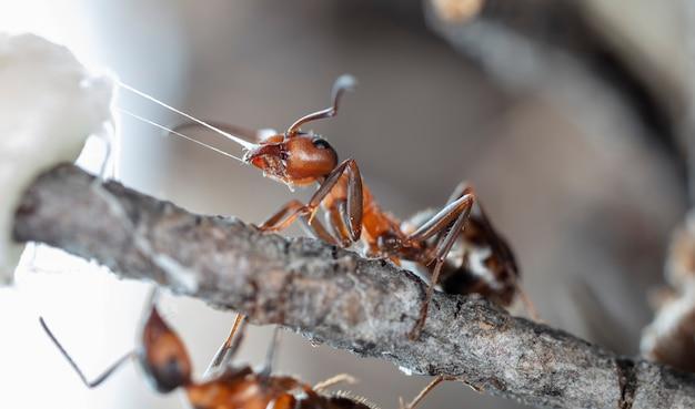 Grandi formiche della foresta in un habitat nativo
