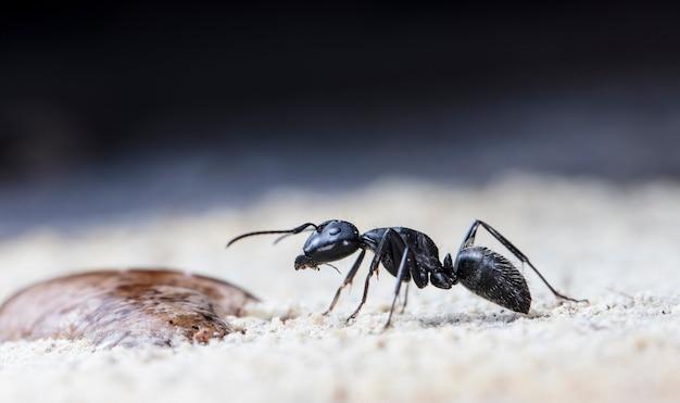 Grandi formiche della foresta su legno vecchio