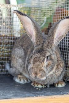 Grande vander grigio della razza del coniglio in una fine della gabbia su. allevamento di conigli in fattoria