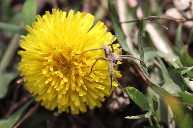 Grande ragno grigio su denti di leone gialli in una giornata di sole