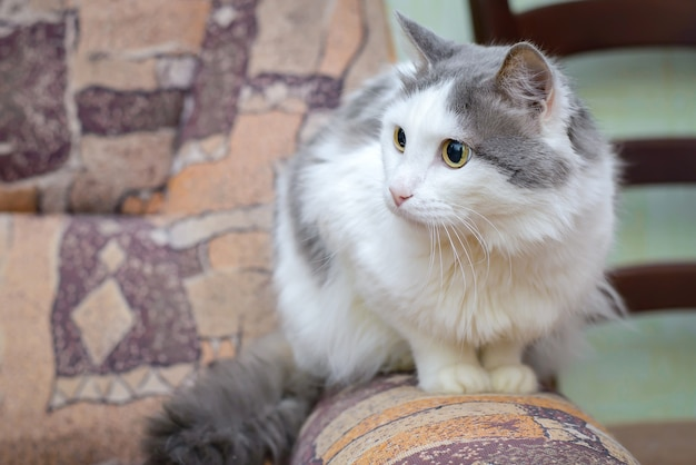 Il grande gatto grigio-bianco seduto sul bracciolo del divano di casa