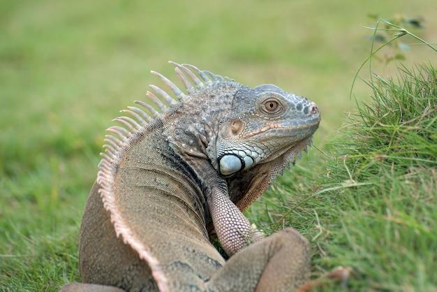Grande iguana verde su un'erba