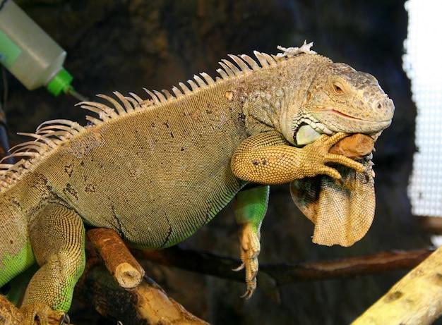Grande iguana verde